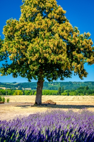 lavender and tree landscape photography