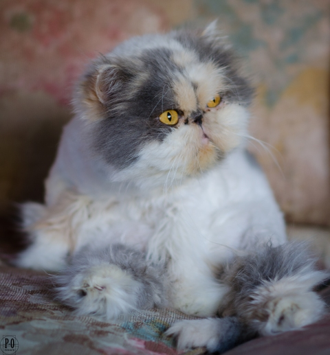 photo of Precious the cat